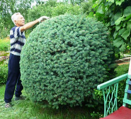 Сажают ли елки дачи 33