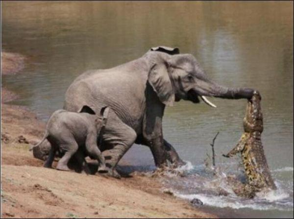 1294131252_elephant_vs_crocodile_02.jpg