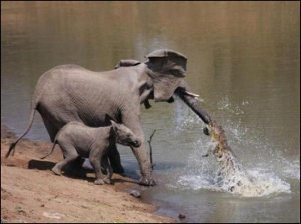 1294131293_elephant_vs_crocodile_01.jpg